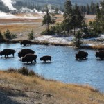 Yellowstone bison herd crosses Firehole River